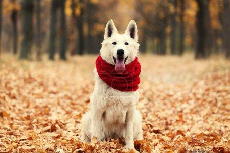 Photo pour Chien de berger suisse blanc avec écharpe rouge dans le parc d'automne - image libre de droit