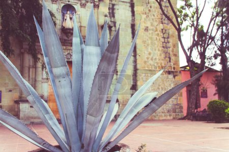 Oaxaca, Oaxaca / Mexico - 21/7/2018: (Maguey plant outside Our Lady of La Merced temple in Downtown Oaxaca Mexico)