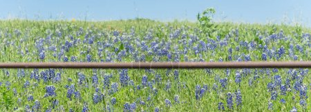 Photo for Panorama view beautiful blossom bluebonnet fields along rustic fence in countryside of Texas. Nature spring wildflower full blooming again clear blue sky, Texas State flower background - Royalty Free Image