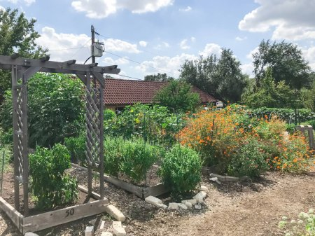 Photo for Community garden North of Dallas, Texas, America with raised bed, trellis and green lush of vegetable, crops ready to harvest. Urban self sufficient life style in a compact growing space, late summer - Royalty Free Image