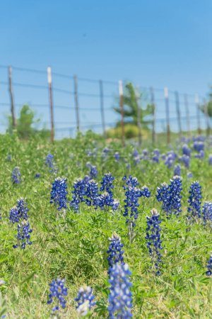 Photo for Beautiful blossom bluebonnet fields along rustic fence in countryside of Texas, USA. Nature spring wildflower full blooming again clear blue sky, Texas State flower background - Royalty Free Image
