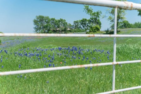 Photo for Blooming bluebonnet fields along rustic white fence in countryside of Texas, USA. Nature spring wildflower full blossom again clear blue sky - Royalty Free Image