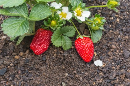 Photo for Closeup of strawberry plant with ripe strawberries and flowers growing in organic garden - Royalty Free Image