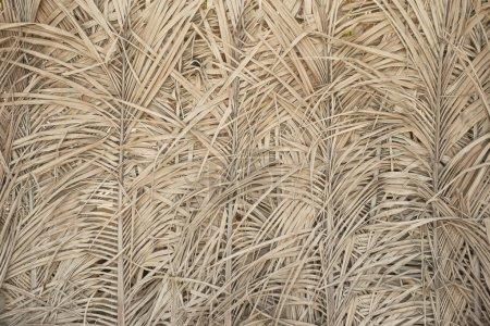 Antiguo fondo de hojas de palma seca textura