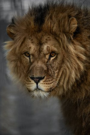 Photo pour Portrait de lion d'Afrique mâle mignonne avec jolie crinière plus extrêmes près - image libre de droit