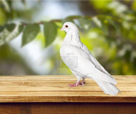 Photo pour Pigeon blanc colombe isolé sur fond - image libre de droit