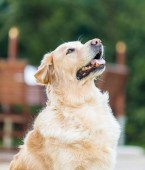 Dog pet domestic animal sitting retriever golden canine