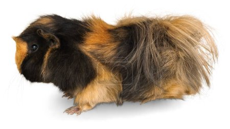 Rodent pet animal hairy mammal cute guinea pig