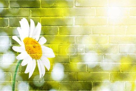 Daisy single flower flower blue daisy family sky white