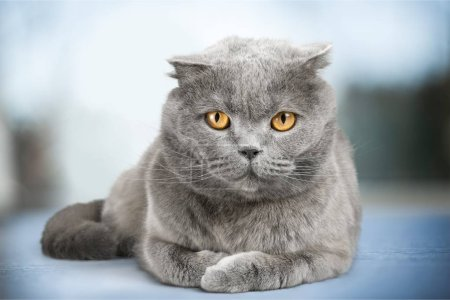 Photo pour Chat British Shorthair sur fond - image libre de droit