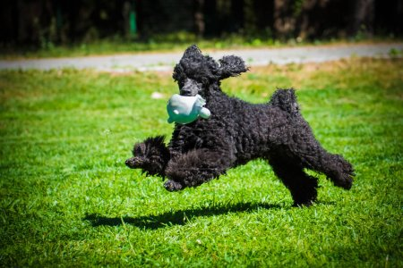 black funny poodle dog playing with toy