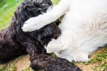 Funny black Russian terrier plays with a white Sheep dog