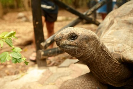Portrait of large old Galapagos tortoise close up