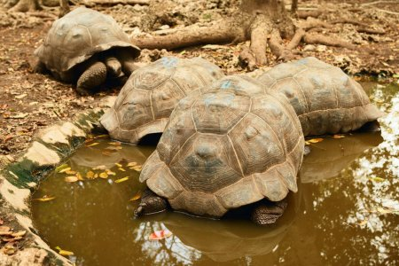 Close view of Large Galapagos tortoise in mud