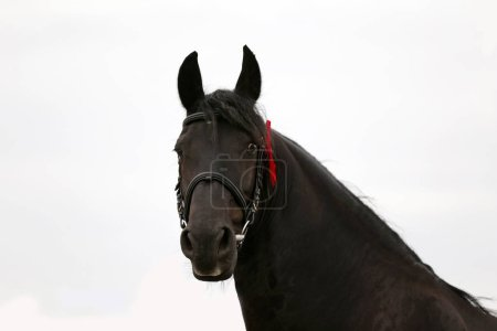 Headshot closeup of a purebred friesian stallion