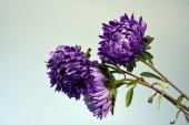 Dead Dying Purple Chrysanthemum Flowers