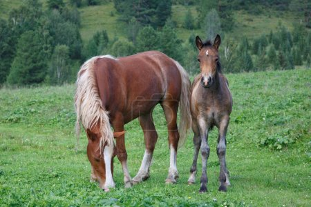 horses with a foal grazing on field