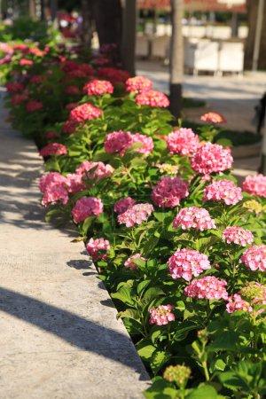Foto de Rosa hortensias en el jardín de fondo. - Imagen libre de derechos