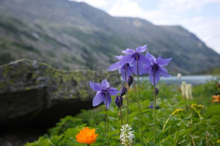 Mountain landscape with blooming aquilegia.