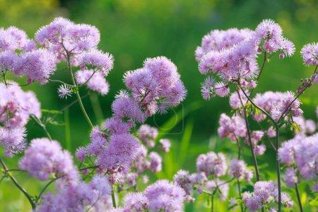 Photo pour Bleuet en fleurs sur le champ un jour d'été . - image libre de droit