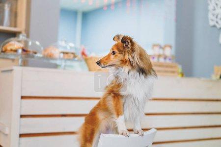 Ausgebildeter Border Collie Hund posiert zu Hause