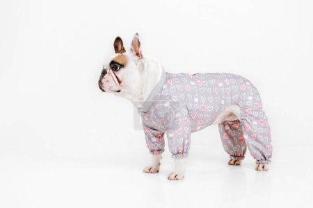 Photo for French Bulldog. Clothes for dogs. Dressed dog isolated on white background - Royalty Free Image