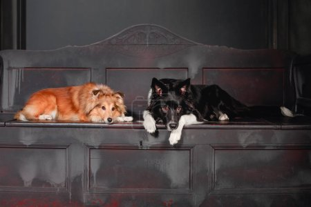 Two dogs in a black room. Vintage dark interior. S...