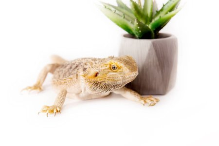 Photo pour Gros plan de lézard dragon et de cactus en pot sur fond blanc - image libre de droit