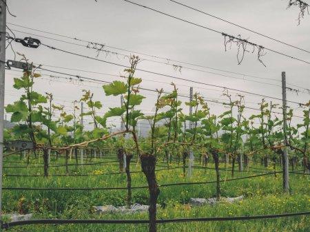 Photo pour Centre national de la vigne en Géorgie. Raisins géorgiennes endémiques - image libre de droit