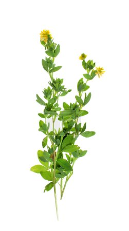 Plants on a white background isolated for insertion into the design template. Medicinal plant.