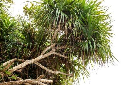 Photo pour Vue de dessous des arbres tropicaux sur un fond blanc isolé à insérer dans la conception de la publicité des maritimes - image libre de droit