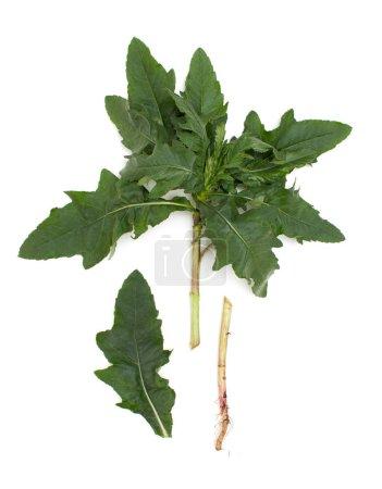 Photo pour Garden Thistle est utilisé comme plante médicinale contre le rhume et pour renforcer le système immunitaire en phytothérapie traditionnelle. Vue de dessus. Gros plan - image libre de droit