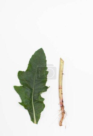 Photo pour Garden Thistle est utilisé comme plante médicinale contre le rhume et pour renforcer le système immunitaire en phytothérapie traditionnelle. Vue de dessus, gros plan. Copier le texte espace - image libre de droit