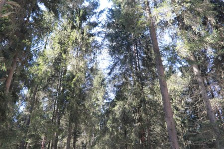 Photo for The tops of evergreen trees against the blue sky - Royalty Free Image