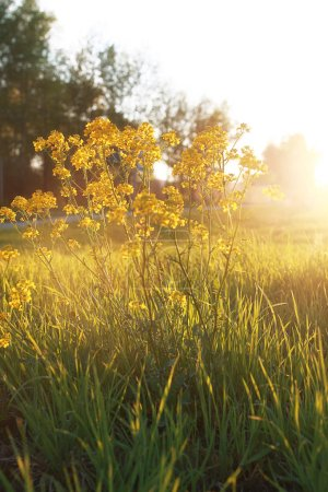 Photo for Field flower on a green meadow in spring evening sunset hour - Royalty Free Image