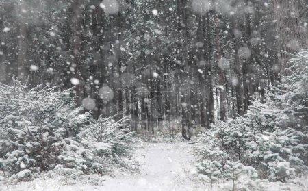Photo pour Forêt d'hiver. Paysage de la forêt d'hiver par une journée ensoleillée. Arbres enneigés et arbres de Noël dans la forêt. Branches sous la neige. Mauvais temps neigeux journée froide . - image libre de droit