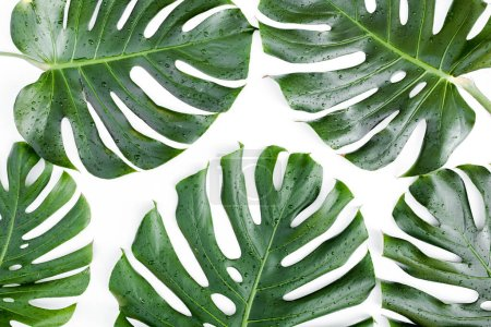 Photo pour Feuilles tropicales Monstera sur fond blanc. - image libre de droit