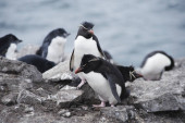 Rockhopper penguins (Eudyptes chrysocome), Falkland Islands