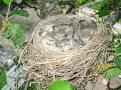 """Постер, картина, фотообои """"Птенцы в гнезде. Детеныши гнездящихся птиц. Разведение птицы в природе"""""""