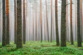 Clear green forest. Scenic spring landscape. Pine trees in woodland with green moss in misty morning. Picturesque forest background.