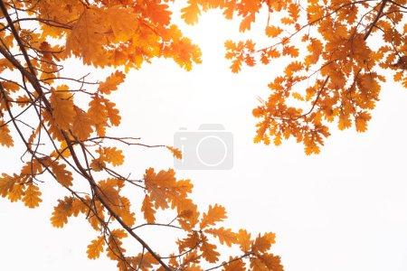 Photo pour Oak branch with yellow foliage on a white background in autumn. - image libre de droit
