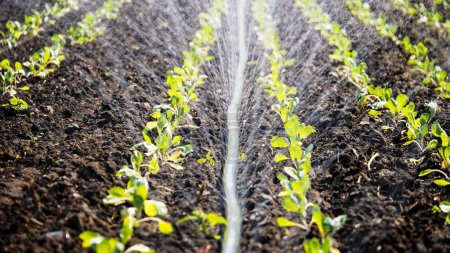 Photo for The green shoots of the seedlings emerge from the soil. Water sprinkler system in the morning sun on a plantation. Sprinkler irrigates vegetable crops. - Royalty Free Image
