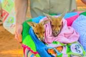 Two orphaned baby kangaroos