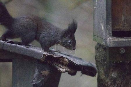 Photo pour Gros plan de l'écureuil assis sur la branche - image libre de droit