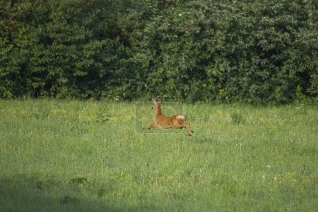 a roebuck flees across the meadow in front of walkers with a dog