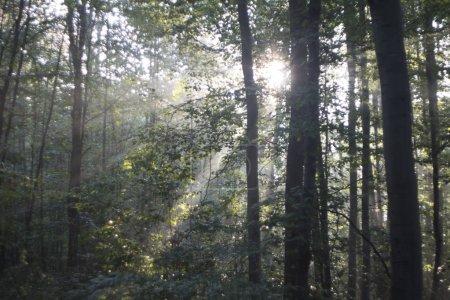 Photo pour Rayons du soleil tombe à travers les branches des arbres - image libre de droit