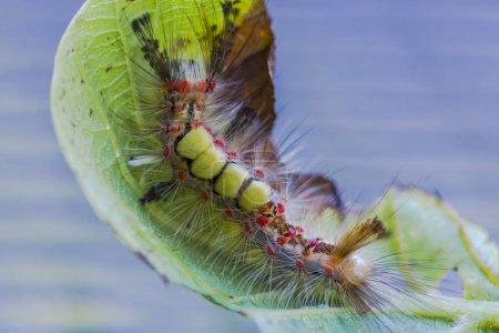 Close up of orgyia antiqua caterpillar on leaf
