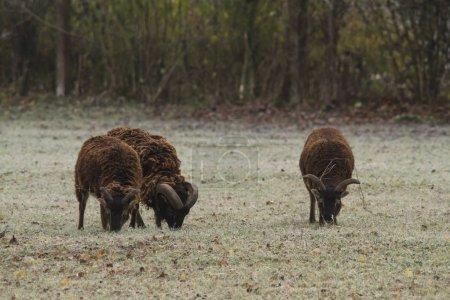 Photo pour Bovins bruns moutons, orientation sélective - image libre de droit