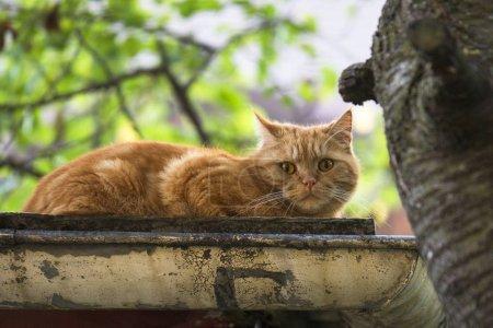 Foto de Rojo británico taquigrafía gato en un corrugado hierro techo - Imagen libre de derechos