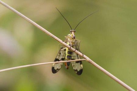 Photo pour Mouche scorpion Panorpa communis sur un brin d'herbe, mise au point sélective - image libre de droit